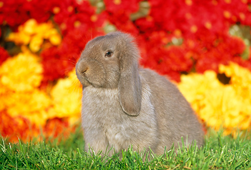 RAB 01 GR0164 01 © Kimball Stock Mini Lop Rabbit Sitting On Grass By Red And Yellow Flowers