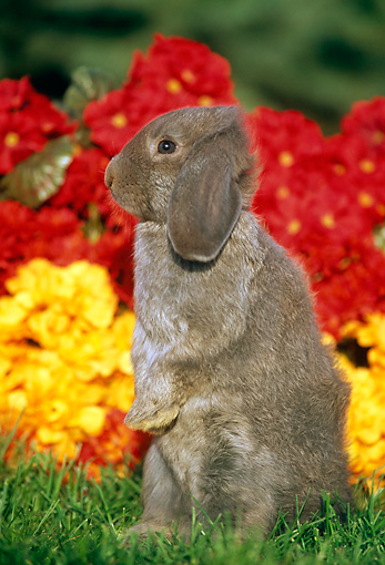 RAB 01 GR0165 01 © Kimball Stock Mini Lop Rabbit Sitting On Grass By Flowers