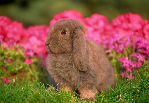 RAB 01 GR0166 02 © Kimball Stock Mini Lop Rabbit On Grass By Flowers