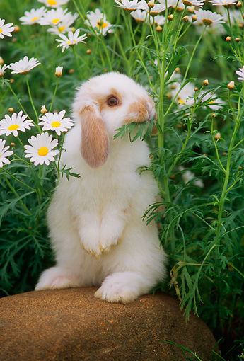 RAB 01 GR0171 01 © Kimball Stock Mini Lop Rabbit On Rock By Flowers