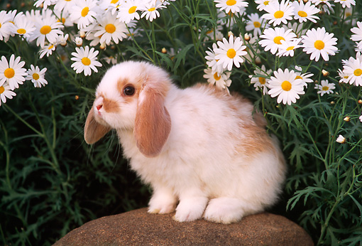 RAB 01 GR0172 01 © Kimball Stock Mini Lop Rabbit On Rock By Flowers