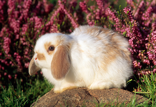 RAB 01 GR0176 01 © Kimball Stock Mini Lop Rabbit Sitting On Rock By Pink Flowers