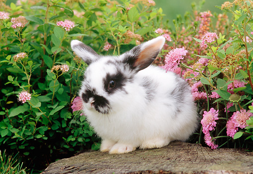 RAB 01 GR0178 01 © Kimball Stock Mini Lop Rabbit Sitting On Tree Stump By Pink Flowers