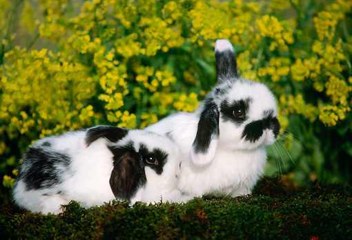 RAB 01 GR0179 01 © Kimball Stock Two Mini Lop Rabbits Laying On Moss By Flowers