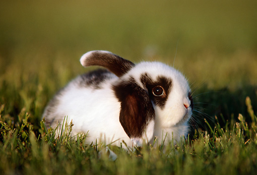 RAB 01 GR0180 01 © Kimball Stock Mini Lop Rabbit On Grass
