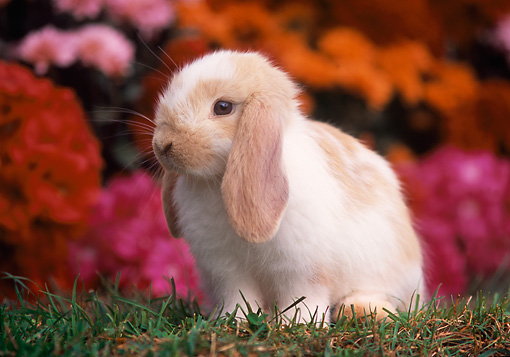 RAB 01 GR0181 01 © Kimball Stock Mini Lop Rabbit Sitting On Grass By Flowers