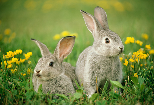 RAB 01 GR0210 01 © Kimball Stock Two Domestic Mixed Breed Rabbits Sitting On Grass By Wildflowers