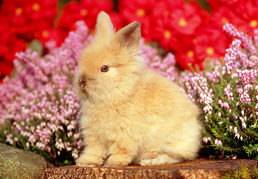 RAB 01 GR0239 02 © Kimball Stock Lionhead Rabbit Sitting On Tree Stump By Flowers