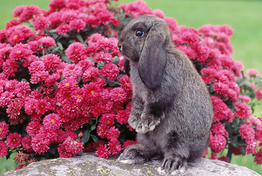 RAB 01 GR0251 01 © Kimball Stock Gray Lop Eared Rabbit Sitting Up On Rock By Pink Chrysanthemums