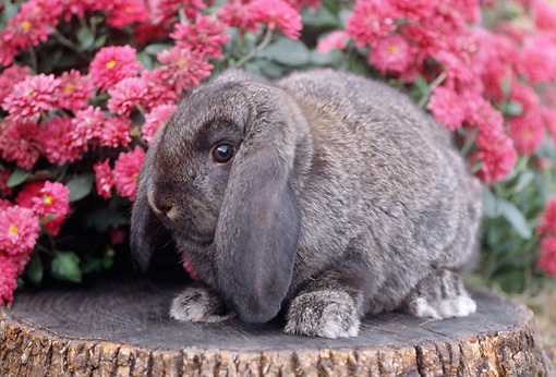 RAB 01 GR0252 01 © Kimball Stock Gray Lop Eared Rabbit Sitting On Stump By Pink Chrysanthemums