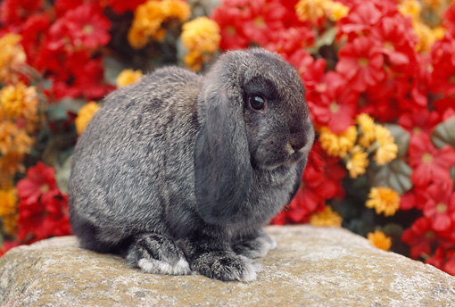 RAB 01 GR0253 01 © Kimball Stock Gray Lop Eared Rabbit Sitting On Rock By Red And Orange Flowers