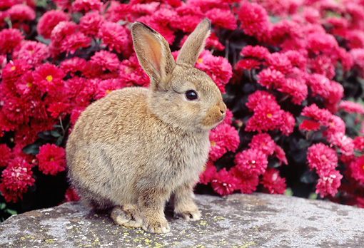 RAB 01 GR0259 01 © Kimball Stock Brown Mixed Breed Rabbit Sitting On Rock By Pink Chrysanthemums