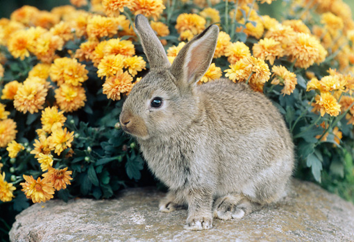 RAB 01 GR0260 01 © Kimball Stock Brown Mixed Breed Rabbit Sitting On Rock By Orange Chrysanthemums