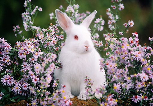RAB 01 GR0261 01 © Kimball Stock White Domestic Mixed Breed Rabbit Sitting In Purple Flowers