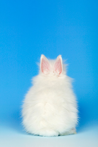 RAB 01 KH0001 01 © Kimball Stock Polish Dwarf Rabbit Sitting With Back To Camera On Blue Seamless