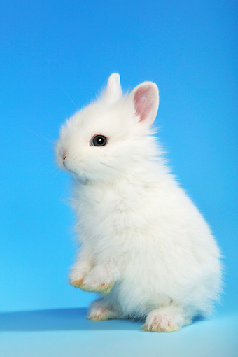 RAB 01 KH0002 01 © Kimball Stock Polish Dwarf Rabbit Sitting Up On Blue Seamless