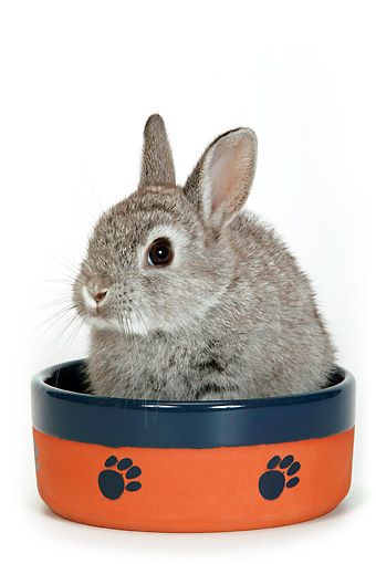 RAB 01 KH0005 01 © Kimball Stock Polish Dwarf Rabbit Sitting In Bowl On White Seamless