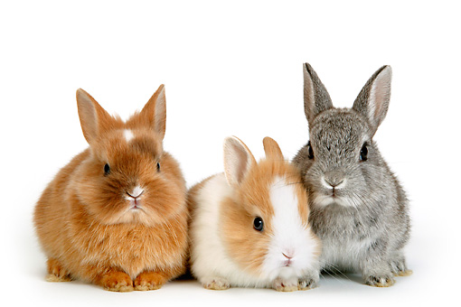 RAB 01 KH0006 01 © Kimball Stock Three Polish Dwarf Rabbits Sitting On White Seamless