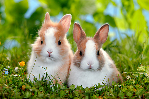 RAB 01 KH0007 01 © Kimball Stock Two Polish Dwarf Rabbits Sitting In Garden