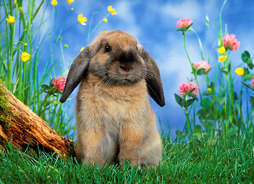 RAB 01 KH0011 01 © Kimball Stock Mini Lop Rabbit Sitting In Garden
