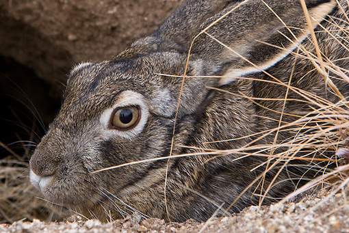 RAB 01 KH0012 01 © Kimball Stock Close-Up Of Tolai Hare Hiding In Dry Grass And Dirt
