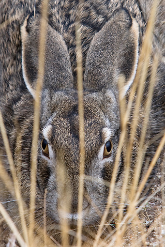 RAB 01 KH0013 01 © Kimball Stock Close-Up Of Tolai Hare Hiding In Dry Grass And Dirt