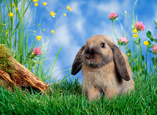 RAB 01 KH0014 01 © Kimball Stock Mini Lop Rabbit Sitting In Garden