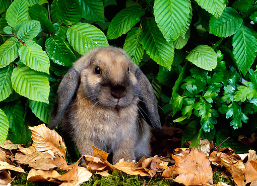 RAB 01 KH0015 01 © Kimball Stock Mini Lop Rabbit Sitting In Leaves