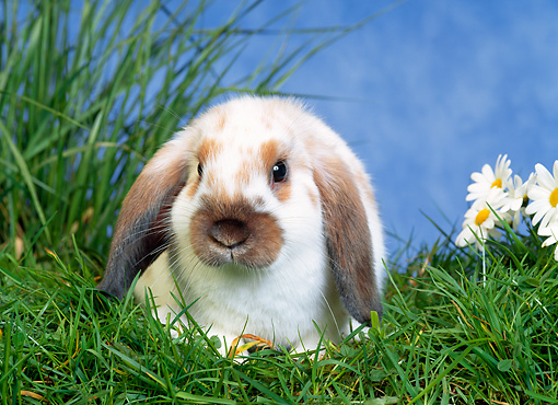 RAB 01 KH0016 01 © Kimball Stock Mini Lop Rabbit Sitting In Grass