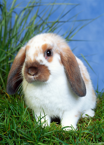 RAB 01 KH0017 01 © Kimball Stock Mini Lop Rabbit Sitting In Grass