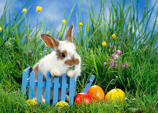RAB 01 KH0021 01 © Kimball Stock Dwarf Rabbit Sitting In Blue Cart By Easter Eggs On Grass