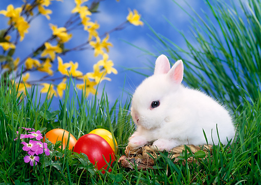 RAB 01 KH0023 01 © Kimball Stock Dwarf Rabbit Sitting By Easter Eggs On Grass