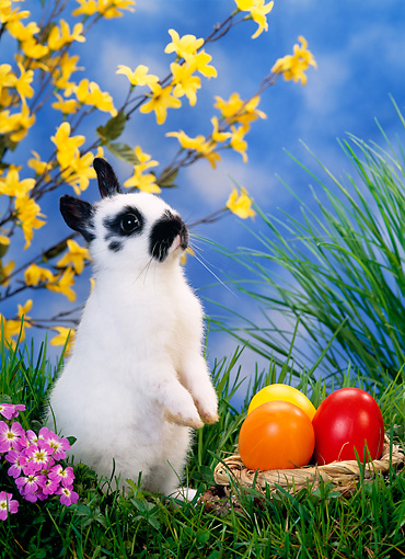 RAB 01 KH0026 01 © Kimball Stock Dwarf Rabbit Standing By Easter Eggs On Grass