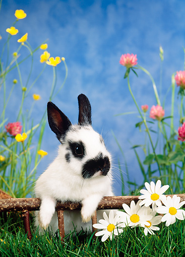 RAB 01 KH0028 01 © Kimball Stock Dwarf Rabbit Standing By Flowers On Grass