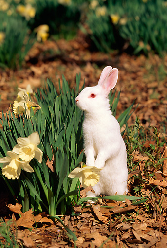 RAB 01 LS0001 01 © Kimball Stock Florida White Rabbit Standing On Leaves By Daffodils