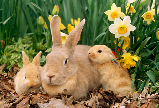 RAB 01 LS0003 01 © Kimball Stock Palomino Rabbit Mother & Two Kits Sitting On Leaves By Daffodils