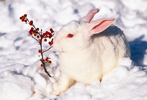 RAB 01 LS0004 01 © Kimball Stock New Zealand Rabbit Sitting On Snow By Red Berries