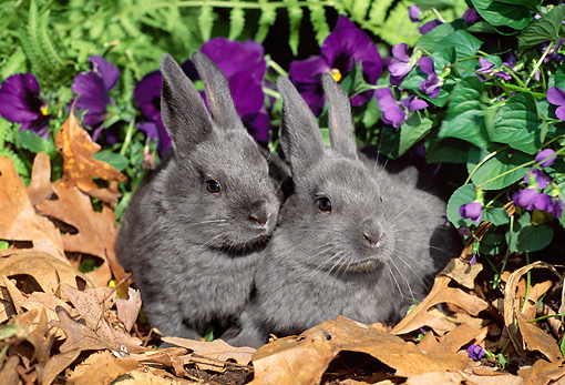 RAB 01 LS0005 01 © Kimball Stock Two New Zealand Rabbit Kits Sitting On Leaves By Flowers