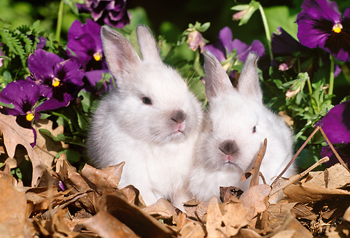 RAB 01 LS0006 01 © Kimball Stock Two New Zealand Rabbit Juveniles Sitting On Leaves By Flowers