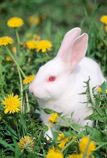 RAB 01 LS0008 01 © Kimball Stock Florida White Rabbit Sitting On Grass By Dandelions