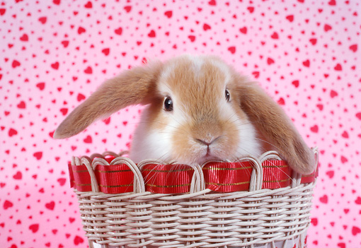 RAB 01 RC0001 01 © Kimball Stock Lop Eared Rabbit Peeking Out Of Wicker Basket Pink Hearts Background