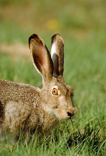 RAB 01 RF0008 01 © Kimball Stock Close-Up Of White-Tailed Jackrabbit Sitting In Field