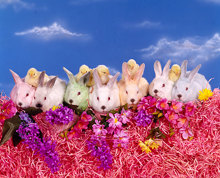 RAB 01 RK0031 01 © Kimball Stock Seven Colored Bunnies With Five Chicks Sitting In A Row On Pink Grass With Flowers