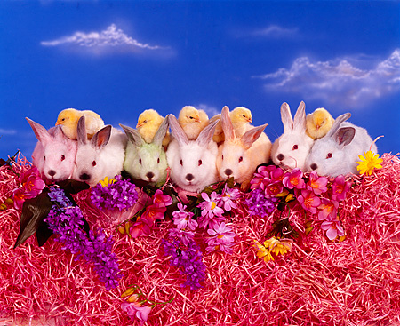 RAB 01 RK0031 12 © Kimball Stock Seven Colored Bunnies With Five Chicks Sitting In A Row On Pink Grass With Flowers