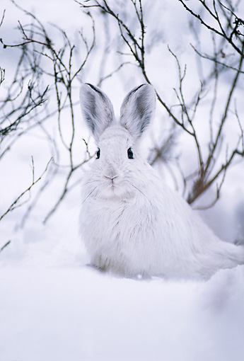 RAB 01 TL0003 01 © Kimball Stock Snowshoe Rabbit In Snow