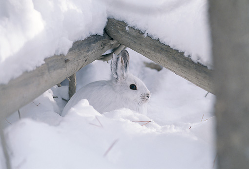 RAB 01 TL0005 01 © Kimball Stock Snowshoe Rabbit In Snow