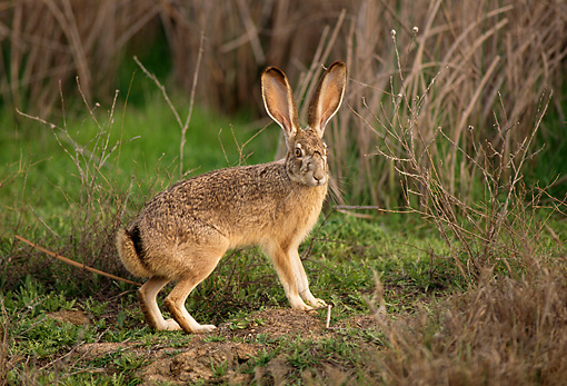 RAB 01 TL0006 01 © Kimball Stock Profile Of Black-tailed Jackrabbit Standing In Scrub