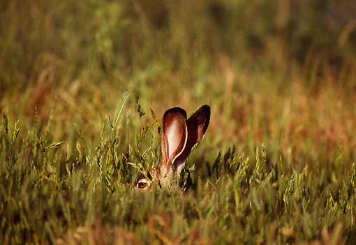 RAB 01 TL0007 01 © Kimball Stock Black-tailed Jackrabbit Hiding In Grass With Only Ears Visible