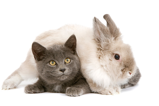 RAB 02 JE0001 01 © Kimball Stock Lionhead Dwarf Rabbit Laying On Gray Shorthair Kitten On White Seamless