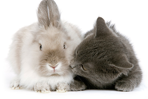 RAB 02 JE0003 01 © Kimball Stock Gray Shorthair Kitten Laying Next To Lionhead Dwarf Rabbit On White Seamless